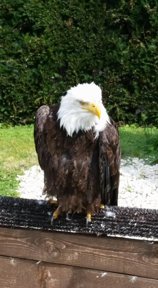 Witkopadelaar Bad Sachsa Roofvogelpark